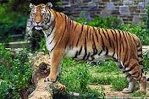 bengal tiger, west bengal, india states, ini a today